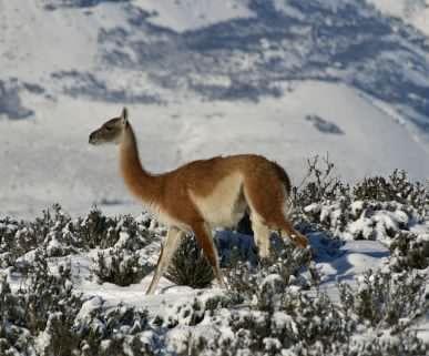 Guanaco-snow